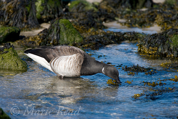 Brant (Branta bernicla) pale-bellied Atlantic form, adult feeding in intertidal zone, Barnegat Inlet, New Jersey, USA
