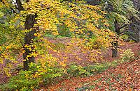 ORPTH_101 - USA, Oregon, Portland, Hoyt Arboretum, Autumn color of European beech trees (Fagus sylvatica).