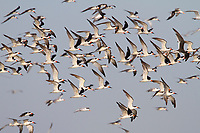 Flock of Black Skimmer (Rynchops niger) in flight. Terrebonne Parish, Louisiana. October.