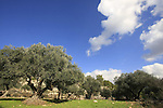 Israel, Jerusalem mountains, Olive grove on Mount Eitan