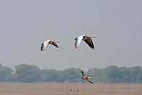 Bar-headed Goose - Anser indicus
