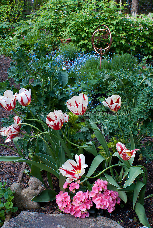Tulipa white and red striped tulips Happy Generation, with pink begonia, kale vegetable, stone squirrel oranment - spring bulbs with vegetables, perennials, annuals, bienneials and fruit all in garden combination