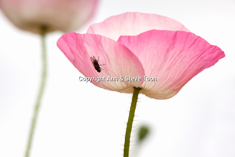 Cultivated poppy study with fly, Papaver species, UK