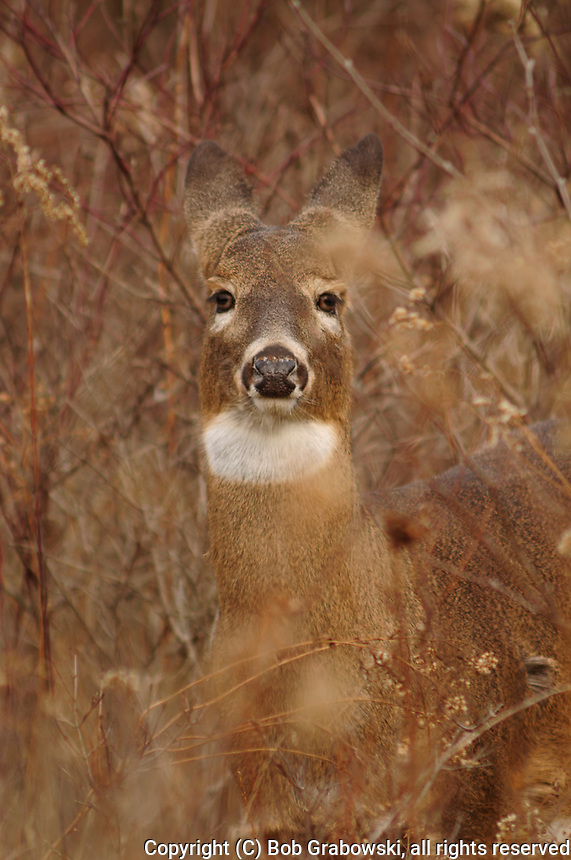 Head shot of a Whitetail Deer, Odocoileus virginianus, with its ears back in the Five Rivers Enviromental Center in Delmar, New York