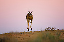 Australia,  NSW, Sturt National Park; red kangaroo male (Macropus rufus) hopping over sand ridge at dusk; the red kangaroo population increased dramatically after the recent rains in the previous 3 years following 8 years of drought