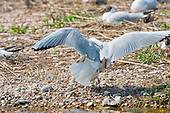 Black headed Gull (Chroicocephalus ridibundus) mating. After courtship and pairing, and whilst going about nest building couples begin to mate, take time out from nest preparation. Late April the fist eggs are laid in the UK, can be much later in places north of the UK.