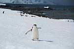 Chinstrap penguins on Half Moon Island, South Shetland Islands, Southern Ocean, Antarctica