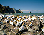 Gannet colony at Cape Kidnappers. Hawkes Bay New Zealand.