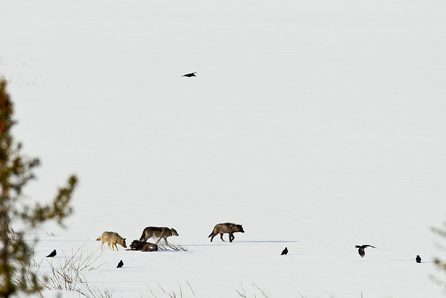 Four members of the Bow Valley Wolf Pack are seen in an open area of Banff National Park Alberta, Canada, winter 2012.  One of the pups from the previous year's litter chews a bone while his littermate tries to sneak a bite.  The mother (back, cetner)  has a radio collar used by researchers to help locate the wolves. Photo by Gus Curtis