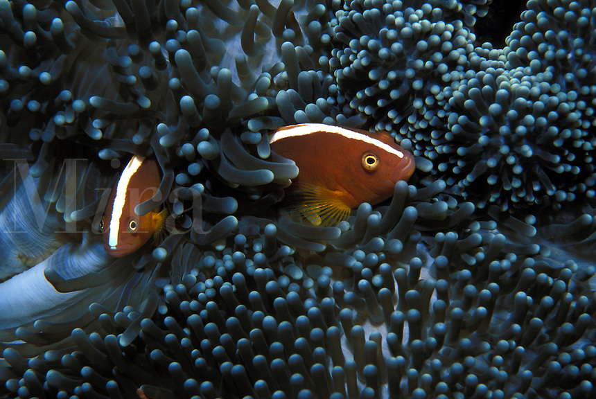 A pair of orange anemone fish in an anemone in the Solomon Islands