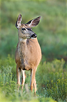 625250017 a wild mule deer odocoileus hemionus grazes and wanders about a meadow in bryce canyon national park utah united states