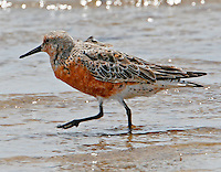 Adult male red knot in breeding plumage