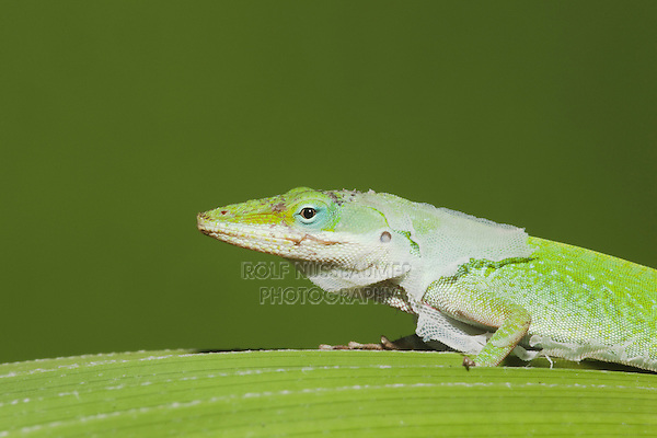 Green Anole (Anolis carolinensis), adult shedding skin, Sinton, Corpus Christi, Coastal Bend, Texas, USA
