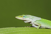 Green Anole (Anolis carolinensis), adult shedding skin, Sinton, Corpus Christi, Coastal Bend, Texas, USA