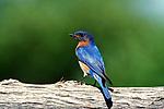 Eastern Bluebird, Sialla siallis, on branch