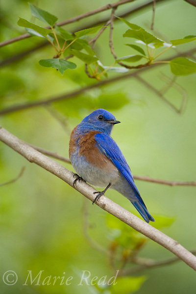 Western Bluebird (Sialia mexicana) male, Orange County, California