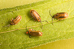 Golden Loosestrife beetles, galerucella pusilla (One infested with water mites - Hydraphantidae)
