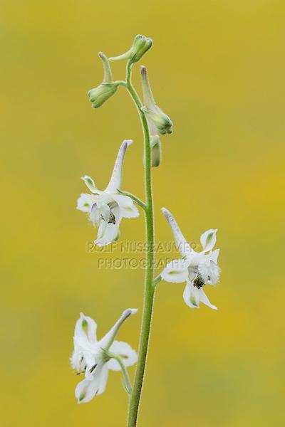 Prairie Larkspur (Delphinium virescens), blooming, Fennessey Ranch, Refugio, Corpus Christi, Coastal Bend, Texas Coast, USA