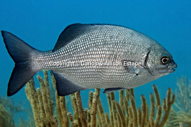 Kyphosus cinerascens, Topsail sea-chub, Florida Keys