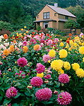 Shore Acres State Park, OR:  Dahlias and the garden house in the formal gardens of Shore Acres State Park