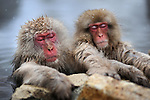 Snow monkeys bathe in hot spring water in winter. Jigokudani Monkey Park is located in the valley of Yokoyu-River, in Shigakogen area of the northern part of Nagano-Prefecture. Here Japanese Macaque can be observed nearby in an Onsen area.<br />