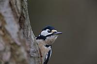 Buntspecht, Männchen bei der Nahrungssuche an einem Baumstamm, Bunt-Specht, Specht, Spechte, Dendrocopos major, Picoides major, Great spotted woodpecker