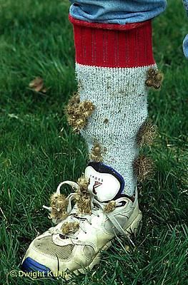 BD03-012z  Burdocks - burdock seeds on child's sneaker and sock which was used to collect seeds, seed dispersal - Arctium minus