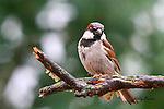 SPARROW; English sparrow or House sparrow