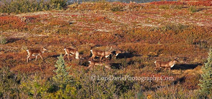 Caribou crossing Denali tundra