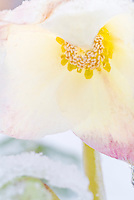 Helleborus in winter snow ice,  cream white with pink flowers, perennial winter blooming hellebore, macro closeup
