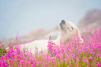 Polar bear, Ursus maritimus, sleeping in fog and fireweed flowers, Manitoba, Canada, polar bear, Ursus maritimus