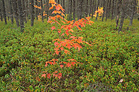 Red maple sapling in jack pine forest. Spanish Forest <br /> Gogama<br /> Ontario<br /> Canada