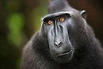 Black Crested Macaque Story