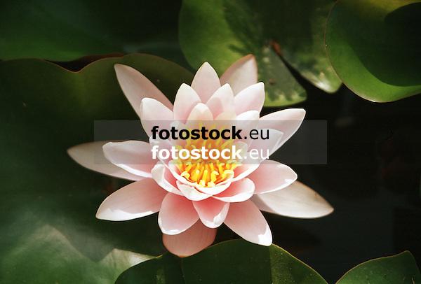 blooming Water Lily (Nymphaea)<br /> <br /> Nen&uacute;far en flor<br /> <br /> bl&uuml;hende Seerose<br /> <br /> 4169 x 2820 px<br /> Original: 35 mm