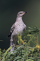 Northern Mockingbird, Mimus polyglottos,young, Willacy County, Rio Grande Valley, Texas, USA, May 2004