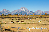 67545-09515 Horses and Grand Teton Mountain Range in fall, Grand Teton National Park, WY