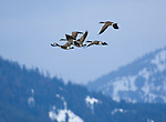 Canada Geese (branta canadensis) during spring migration at Kootenai National Wildlife Refuge near Bonners Ferry, Idaho