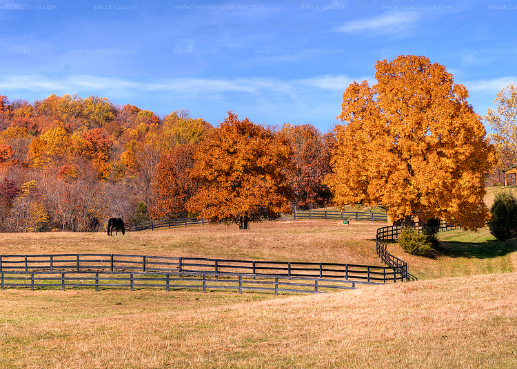 Beautiful golden fall foliage illuminates fences, fields and the woods beyond a horse farm in Delaplane Virginia (across the road from Miracle Valley Vineyard). (HDR image)