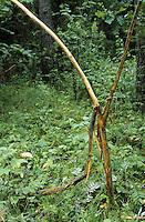 Rothirsch hat sein Geweih an einem Busch gefegt, Schädigung der Rinde, Fegeschaden, Rot-Hirsch, Rotwild, Edelwild, Edelhirsch, Hirsch, Männchen, Cervus elaphus, red deer