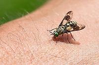 Goldaugenbremse, Weibchen beim Stechen, Beißen auf menschlicher Haut, saugt Blut, Blutsauger, Goldaugen-Bremse, Bremse, Chrysops relictus, Deer fly, yellow fly, deerfly