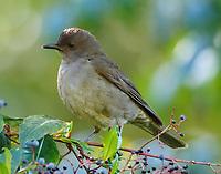Pale-vented thrush