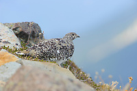 Adult female White-tailed Ptarmigan (White-tailed Ptarmigan). This species undergoes almost continuous molt from spring until fall resulting in a variety of plumages that match the species changing alpine environment. Central Cascades, Washington. September.