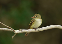 Willow Flycatcher (Empidonax traillii), adult, South Padre Island, Texas, USA