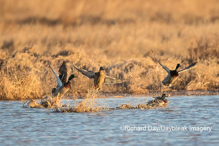 00729-02313 Mallards (Anas platyrhynchos) flying from wetland, Marion Co., IL