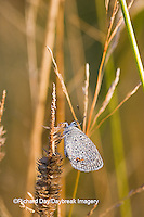 03226-01110 Eastern Tailed-Blue (Everes comyntas) butterfly in early morning dew, Marion Co. IL