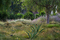 Lawn substitute entry meadow to Huntington Library and Botanic Gardens with European Sedge (Carex divulsa), Salvia and Aloe under Schinus molle (California Pepper Tree)