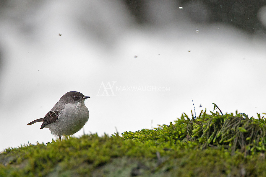 The tiny Torrent tyrannulet loves hanging out near river rapids.