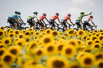 The peloton including Green Jersey Peter Sagan (SVK) Bora-Hansgrohe race by the sunflower fields during Stage 11 of the 2019 Tour de France running 167km from Albi to Toulouse, France. 17th July 2019.<br /> Picture: ASO/Pauline Ballet | Cyclefile<br /> All photos usage must carry mandatory copyright credit (© Cyclefile | ASO/Pauline Ballet)