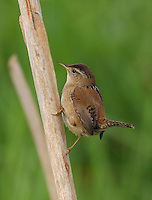 Male marsh wren perched on a cattail stem at the edge of a marsh and surveying his territory.<br />