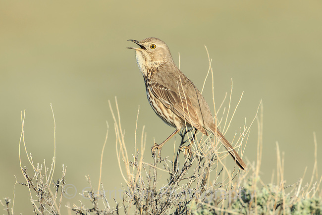Singing Sage Thrasher (Oreoscoptes montanus). Sublette County, Wyoming. May.